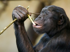 Bonobo. Image: Jeroen Kransen.