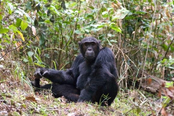 pimu_alpha_male_chimp_0310.jpg