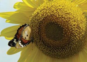 butterfly pollinates sunflower by luisa carvalheiro