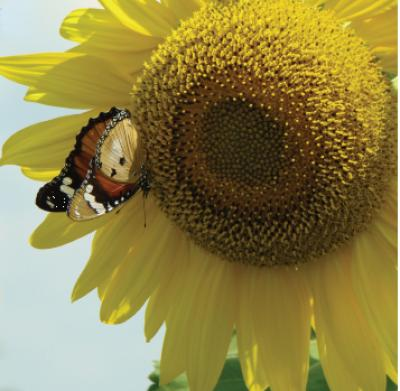 butterfly pollinates sunflower by luisa carvalheiro