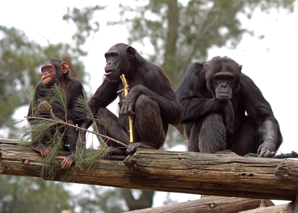 chimpanzee family teamwork
