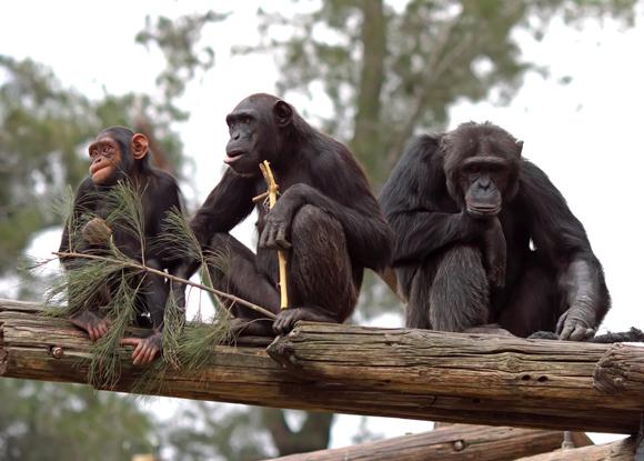 chimpanzee family teamwork