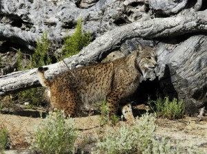 liberian lynx