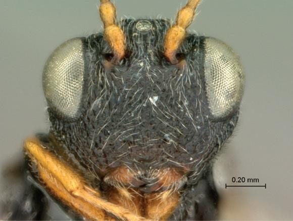 new-wasp-Paramblynotus-alexandriensis