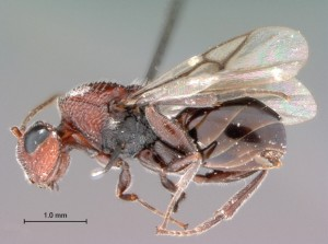 New wasp species