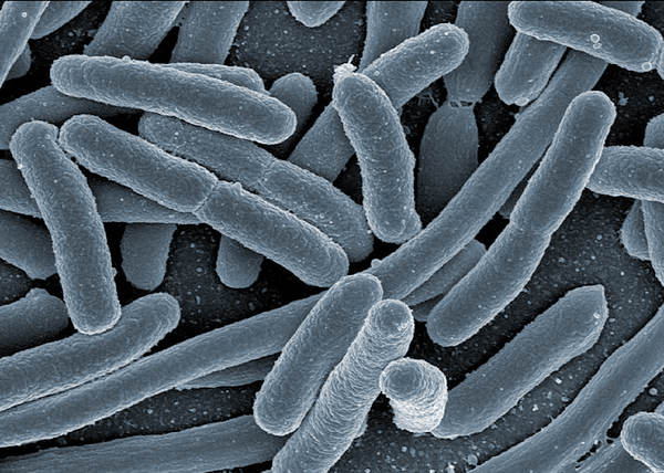 Benefits of weight loss surgery may be in the microbes