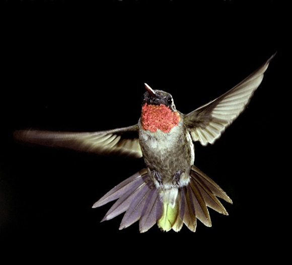 Ruby-throated Hummingbird. Photo credit: Bill Stripling
