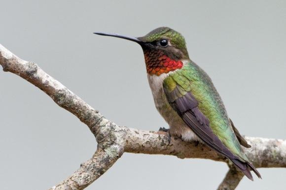 Ruby-throated Humingbird. Photo credit: Bill Stripling