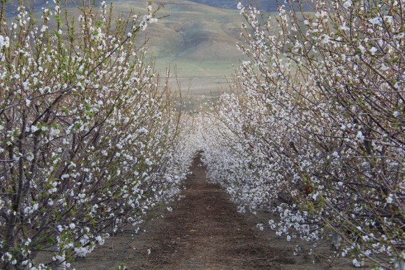 Cherry trees blooming in Antelope Valley California in spring 2013, as captured by our friend Kerri Willerford.  Thanks Kerri!