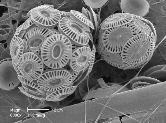Coccoliths close-up