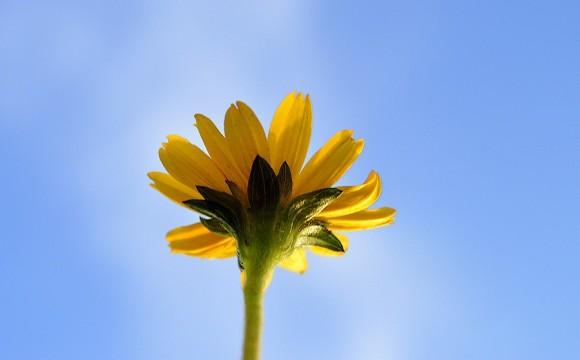 Single flower, yellow petals glowing, viewed from below against blue sky.