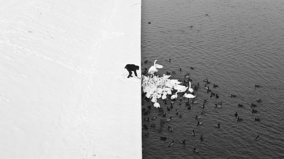 Man feeding swan