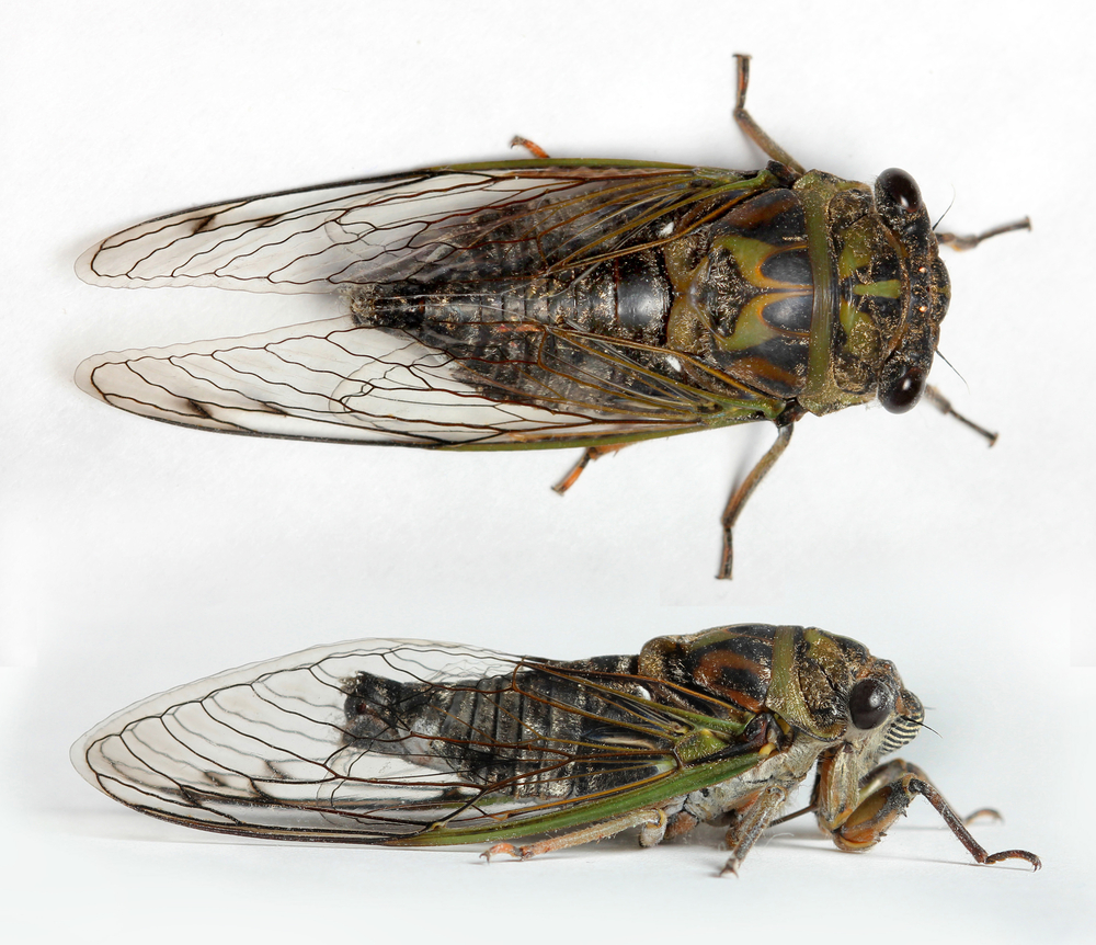 Cicada time is coming up!