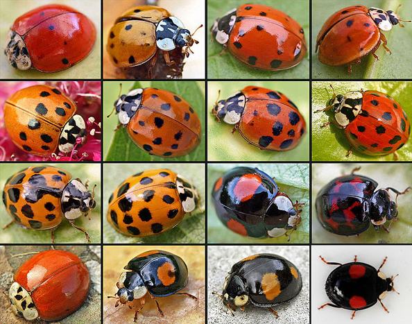 The many faces of the harlequin ladybird. Image: Entomart.