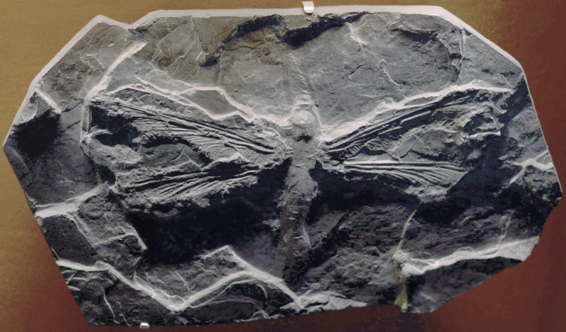 M. monyi - whose fossilized remains are shown here - is one of the largest known flying insect species; the Permian Meganeuropsis permiana is another.  This specimen is housed at the Fossil at the Museum of Natural History in Toulouse. Image via Wikimedia Commons.