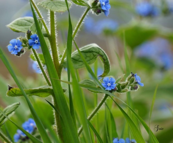 Photo credit: Tosca Yemoh Zanon, who wrote, 'Green Alkanet_Pentaglottis sempervirens ( London) taken two weeks ago!!!'