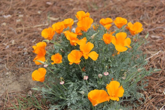 California poppies by EarthSky Facebook friend Kerri Willerford, who writes, 'Didn't get much rain here in the desert, so not too many flowers.'