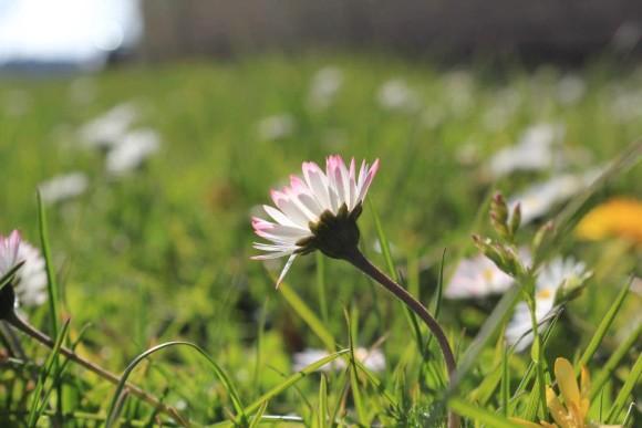 Photo credit Eva Margareta Charlotta. Her description: 'Tusensköna in Swedish, in Vänersborg, Sweden, Monday this week. Latin, Bellus Perennis, Daisy in English..but this is a very small kind of daisy.'