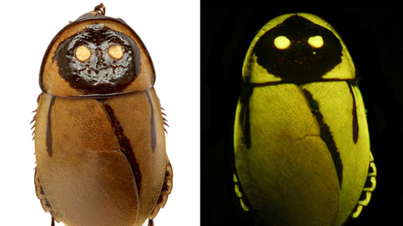 Photograph of a new, light-mimicking cockroach Lucihormetica lucka in daylight and under fluorescent light. Notable are two luminescent lanterns and one minor asymmetrical lantern on the right side. The species is likely extinct â its only known habitat was destroyed by the eruption of Tungurahua in December 2010. Image credit: Peter Vrsansky & Dusan Chorvat