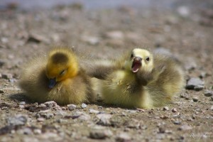 goslings-Ryong-Lee