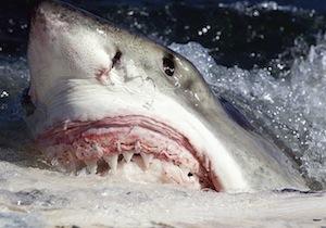 Great white shark.  Courtesy C. Fallows