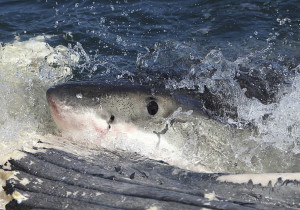 A 4.5-meter (14.8-foot) white shark removed a 20-kilogram (44-pound) chunk of flesh, sinew, and blubber by performing lateral headshakes. Courtesy C. Fallows, et al.