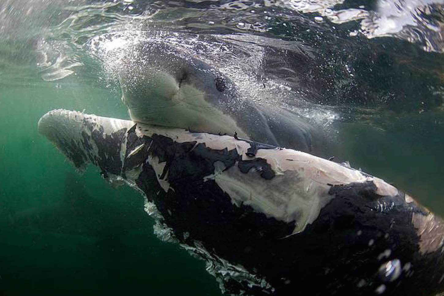 Great white sharks supplement a seal diet with dead whales