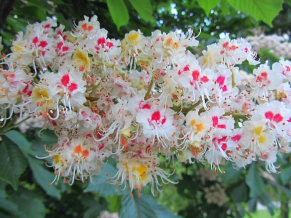 Horsechestnut blossoms by EarthSKy Facebook friend Raymond Johnson