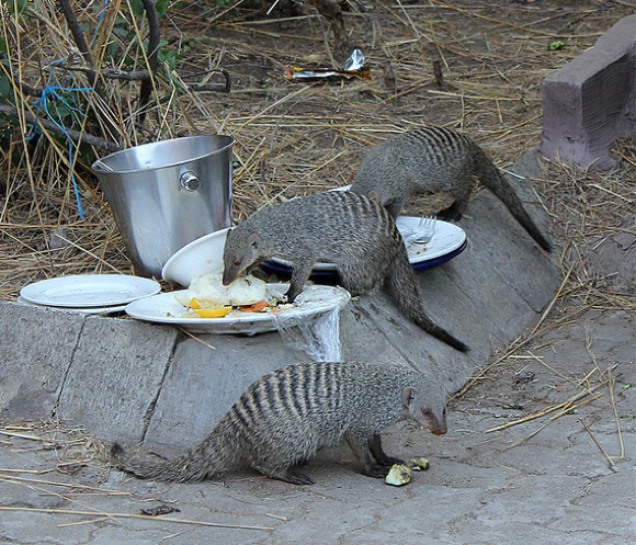 mongoose foraging