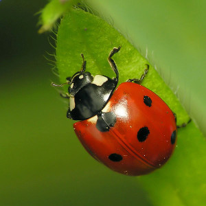 The seven-spot ladybug, with its reliable seven spot pattern. Image: Dominik Stodulski.