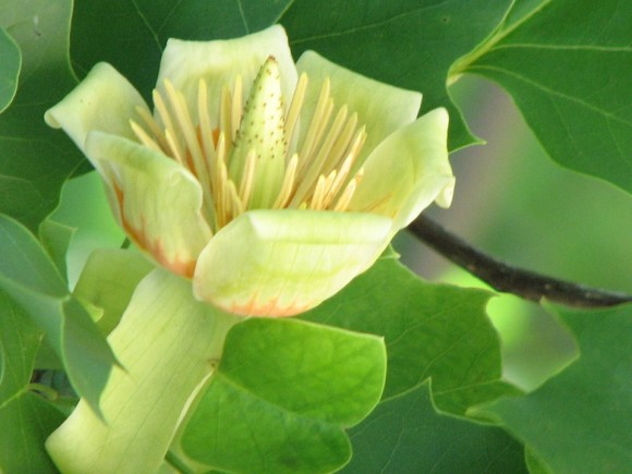 Photo by: Nanette Simmons. 'Liriodendron tulipifera — known as the tulip tree — at Lake Martin, Alabama.'