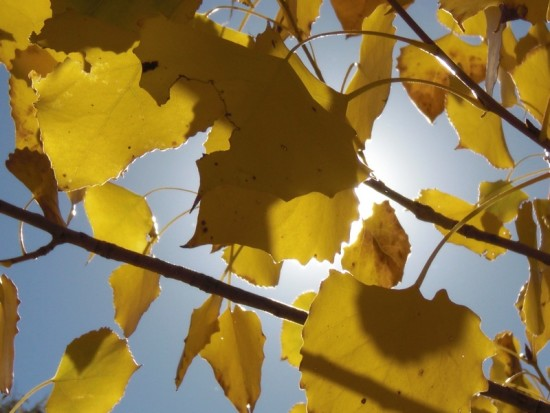 Golden cottonwood leaves in Fall