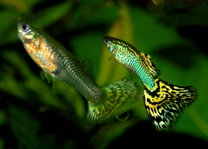 A lady guppy and her scrawny male companion. Image: Marrabbio2.
