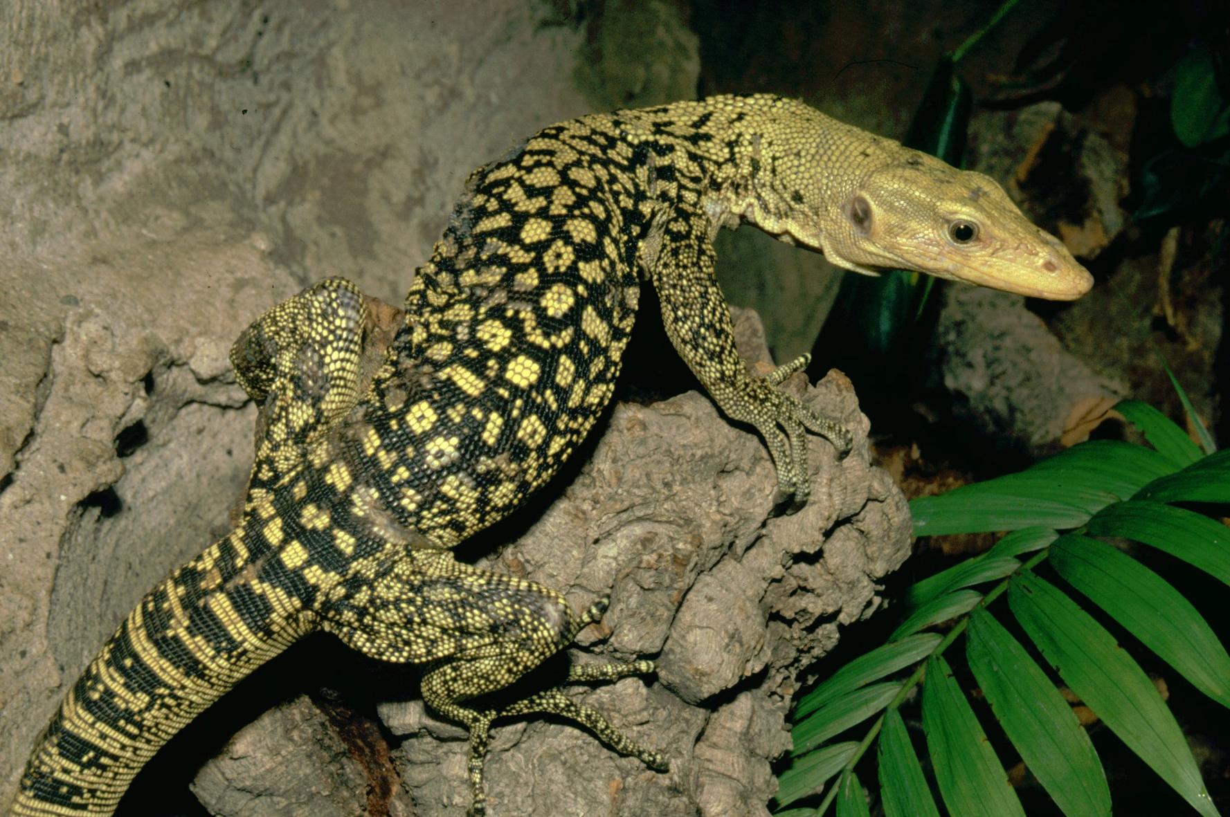 The relentless exploitation of Asian Giant Lizards