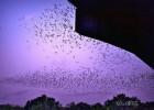 bat-colony-Austin-TX-Pamela