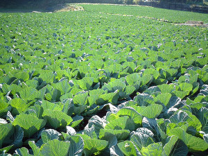 Rolling fields of cabbage. Image: sigusr0.