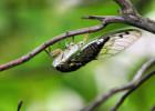 cicada-lee-ruk-300