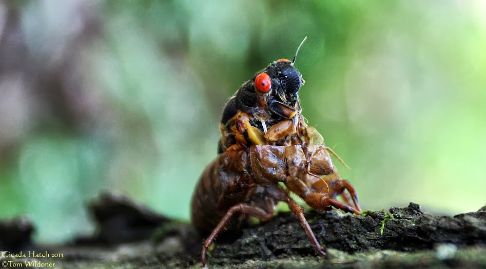 Cicadas in Carbon County Pennsylvania on June 9, 2013 posted at Earthsky Photo on Google+ yesterday by Tom Wildoner.