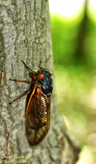 Large cicada hatch in Carbon County Pennsylvania on June 9, 2013 posted at Earthsky Photo on Google+ yesterday by Tom Wildoner.