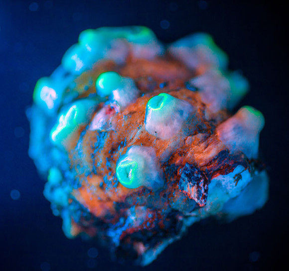 Sample of corallimorphs collected by ROV Jason photographed under a blacklight to demonstrate florescence. Image courtesy of Art Howard, Deepwater Canyons 2013 - Pathways to the Abyss, NOAA-OER/BOEM/USGS.