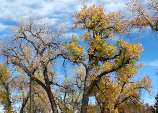 Craggy cottonwoods along Denver's Highline Canal in late fall