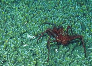 crab-deepsea-noaa-300