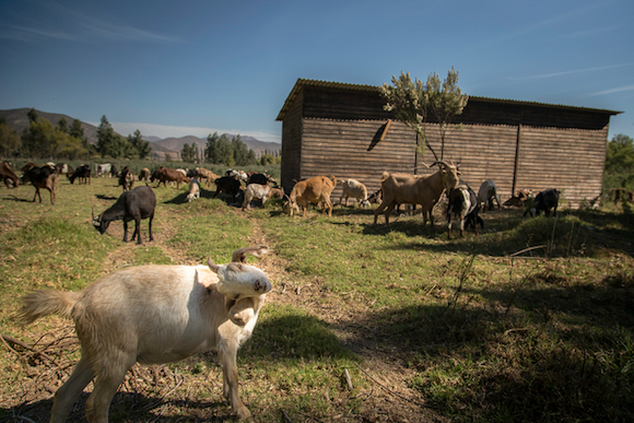 Goat herding is a traditional livelihood in the drylands of Coquimbo, Chile. These goats are pasturing very near the Elqui River.