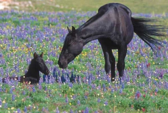 Feral mare and her foal. Image taken at the Pryor Mountain Wild Horse Range in Montana in the United States. image via Wikimedia Commons.