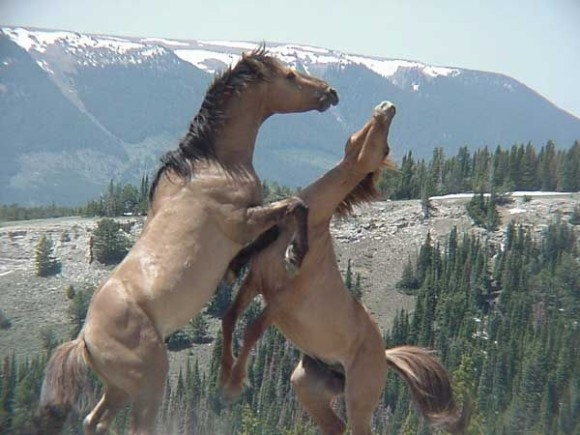 Feral stallions fighting for dominance of a herd of mares. Image taken at the Pryor Mountain Wild Horse Range in Montana in the United States. Image and caption via Wikipedia Commons.