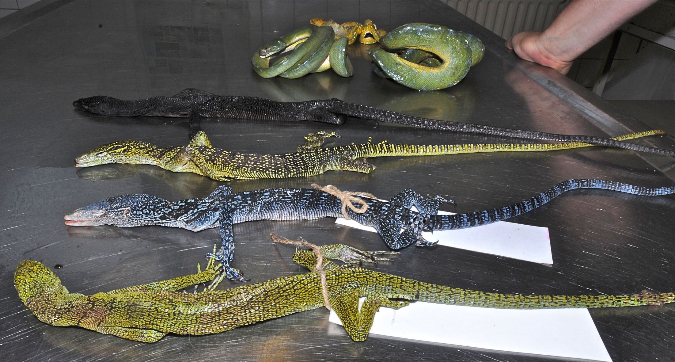 pet-trade-lizards