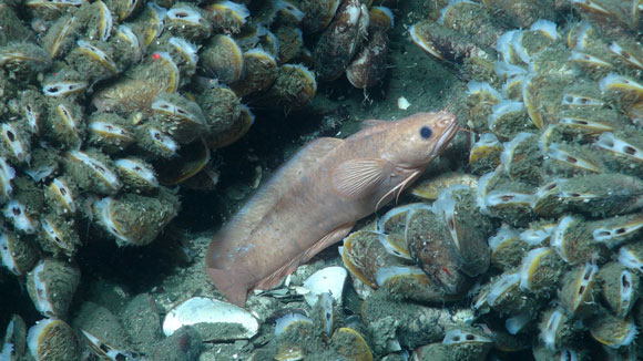 rockling-fish-noaa-580