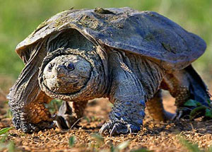snapping-turtle-nbiigov-300