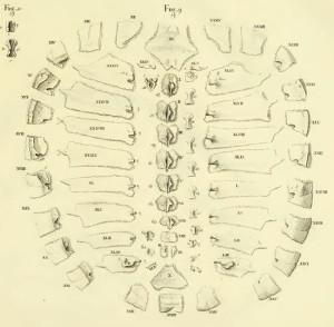 turtle-shell-bojanus-550