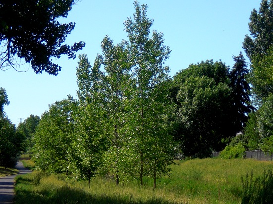 Young cottonwood trees along Denver's Goldsmith Gulch in June, 2013